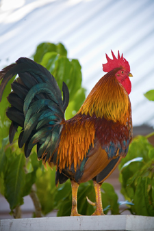 Key West night life Rooster